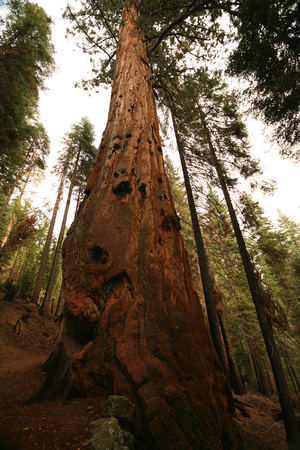 Giant Redwood, Yosemite National Park